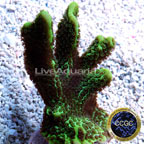Corals For Sale: Rare Corals and other Marine SPS Corals Certified Captive Grown