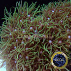Corals For Sale: Rare Corals and other Marine Soft Corals Certified Captive Grown