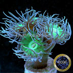 Corals For Sale: Rare Corals and other Marine LPS Corals Certified Captive Grown