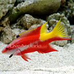 Hogfish Marine Fish
