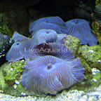 Mushroom Coral: Hardy, Soft Coral Mushrooms for Reef Aquarists
