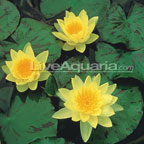 Water Lilies: Tropical and Hardy Water Lilies for Ponds