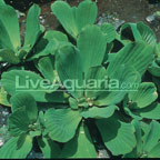 Floating Aquarium Plants: Floating Pond Plants for the Water Garden