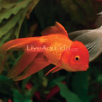 ... Fish: Freshwater Tropical Fish Species for Tropical Fish Tanks