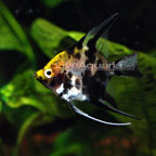 Freshwater Angelfish for Sale: Koi Angelfish and Veil Tailed Angelfish