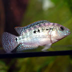 American Cichlid: Central and South American Cichlids and New World Species