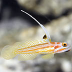Yasha White Ray Shrimp Goby - Captive-Bred
