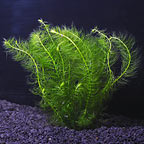 Myrio - Green