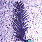 Purple Whip Gorgonian