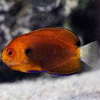 Fisher's Angelfish