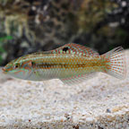 Pearly Wrasse
