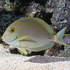 Ring Tail Surgeonfish