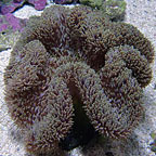 True Carpet Anemone - Brown