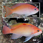 Stocky Anthias