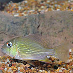Threadfin Geophagus