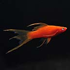 Hi Fin Swordtail, Blood Red