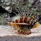 Dwarf/Zebra Lionfish