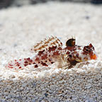 Red Scooter Dragonet, Captive-Bred ORA®