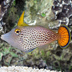 Fantail Orange Filefish