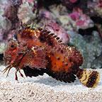 Orangebanded Stingfish
