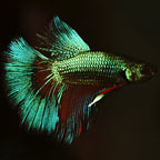 Halfmoon Betta, Red Dragon