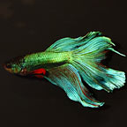 Halfmoon Butterfly Betta, Blue