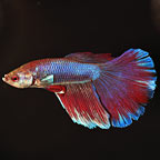 Butterfly Betta, Super Delta Tail - Blue
