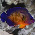 ORA® Captive-Bred Coral Beauty Angelfish