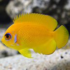 Lemonpeel Angelfish