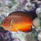 Rusty Angelfish