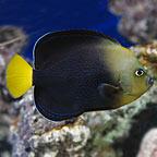 Bluespotted Angelfish