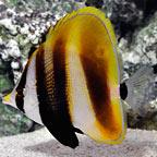 Hi Fin Coradion Butterflyfish
