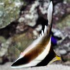 Threeband Pennant Butterflyfish