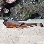 Longnose Batfish