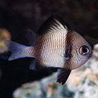 Two Stripe Damselfish