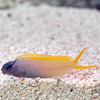 Forktail Blenny Captive-Bred Biota
