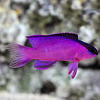 Basslets for Sale: Basslet Species including the Royal Gramma Basslet