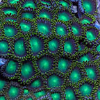 Colony Polyp, Radioactive Dragon Eye