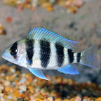 Frontosa Cichlid, Captive-Bred