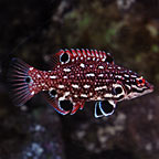 Red Diana Hogfish