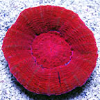 Australian Scolymia Coral, Red