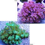 Cauliflower Coral, Pocillopora