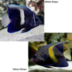 Maculosus Angelfish, Captive-Bred