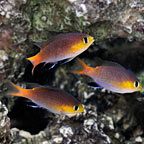Acares Midget Reef Chromis