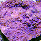 Chalice Coral, Bubble Gum