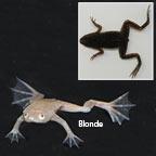 Dwarf African Frog