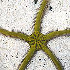 Brittle Sea Star, Fancy Yellow