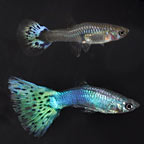 Purple Snowflake Guppy (Pair)
