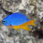 Azure Damselfish, Captive-Bred