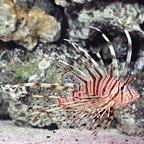 Miles Lionfish